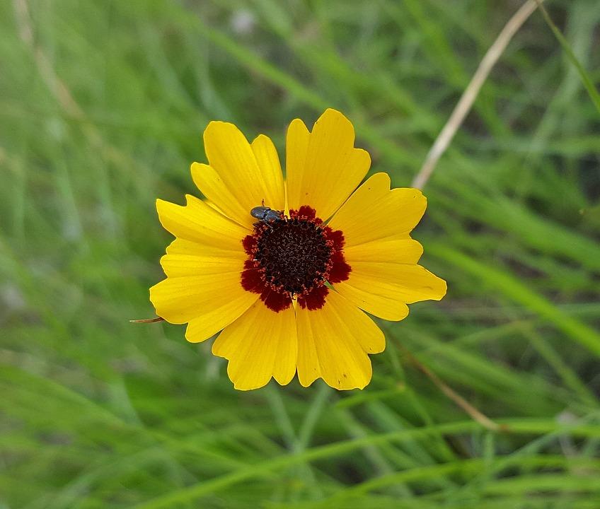 coreopsis-flower-perennial