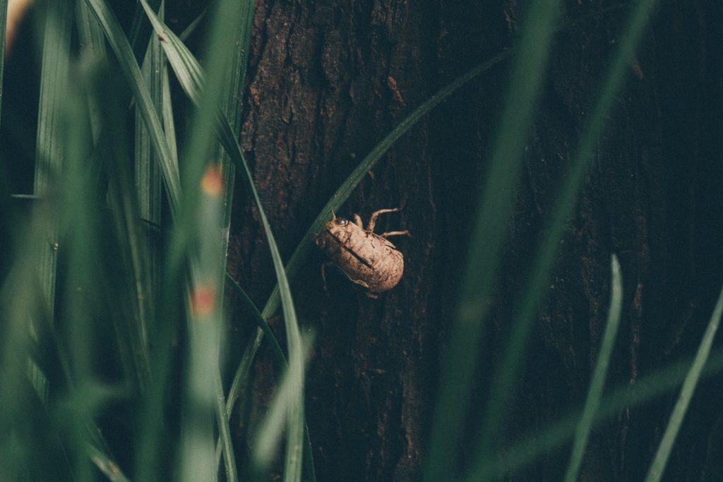 Common Lawn Pest June Beetle